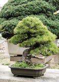 Bonsai as style of life stock photos