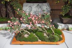 Bonsai av krysantemumblommor Arkivbild