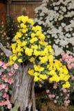 Bonsai av krysantemumblommor Royaltyfria Bilder