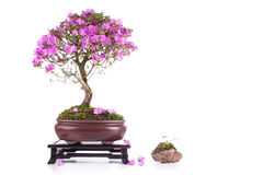 Bonsai Azalea japonica. On a white background stock photos