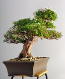 Bonsai azalea after the spring blooming Stock Photos