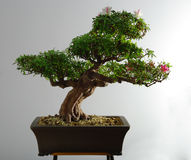 Bonsai azalea after the spring blooming Royalty Free Stock Photography