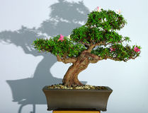 Bonsai azalea after the spring blooming Stock Photography