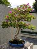 Bonsai Azalea tree Stock Images