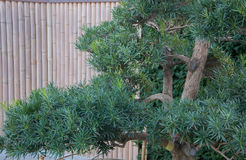Bonsai on the background of bamboo fence in Chinese style Royalty Free Stock Photography