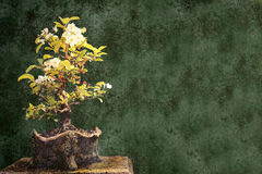 Bonsai background royalty free stock photo