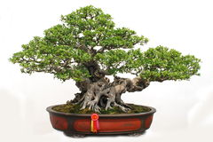 Bonsai of banyan. Chinese Penjing,a bonsai of banyan in pot, miniascape miniature garden Stock Images