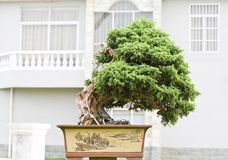 A bonsai of banyan Stock Image