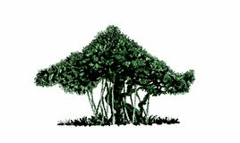 Bonsai Banyan. Bonsai banyan with air roots. An ink drawing, illustration Stock Photography