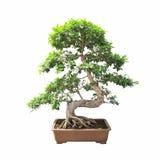 Bonsai banyan boom Stock Afbeeldingen