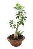 Bonsai banyan die boom op wit wordt geïsoleerd Stock Afbeelding