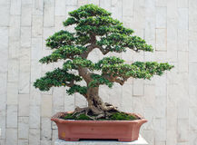 The bonsai of banyan in pot. The bonsai of banyan ,Chinese Penjing in pottery garden pot.delicately well cutted Royalty Free Stock Photo