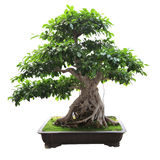 Bonsai banyan tree. With white background royalty free stock photo