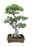 Bonsai banyan tree. With white background stock photo
