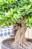 Bonsai banyan tree Royalty Free Stock Photo