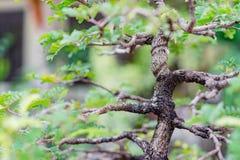 Bonsai banyan tree Royalty Free Stock Photography