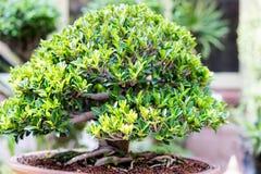 Bonsai banyan tree Stock Photography