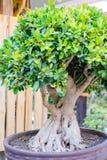 Bonsai banyan tree Royalty Free Stock Image