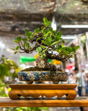 Bonsai of Banyan Tree Royalty Free Stock Photography