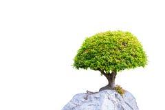 Bonsai banyan tree growing on the white rock royalty free stock photos