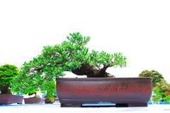 Bonsai banyan tree, isolated on white Royalty Free Stock Images