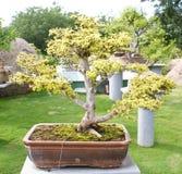 A bonsai banyan tree in Ramoji Filmcity, Hyderabad Royalty Free Stock Photo