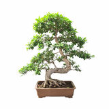 Bonsai banyan tree Stock Images