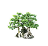 Bonsai banyan tree with white background Royalty Free Stock Images