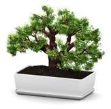 Bonsai Baobab green tree in flower pot Royalty Free Stock Photo
