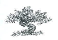 Bonsai barrträds- som är svartvit Arkivfoto