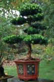 Bonsai, basin natural landscape art performance. Royalty Free Stock Photo