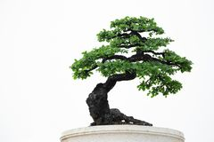 Bonsai in a beautiful pot. Royalty Free Stock Image