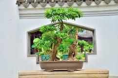 Bonsai. Beautiful Bonsai in the sunshine Stock Photo