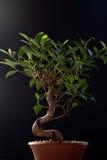 Bonsai on Black royalty free stock photo