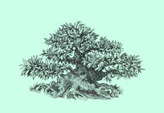 Bonsai,   , black and white . Tree bonsai,black and white,   drawing pen Royalty Free Stock Photo
