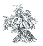 Bonsai,   , black and white . Tree bonsai,black and white,   drawing pen Royalty Free Stock Image