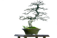 Bonsai in blue Royalty Free Stock Photos