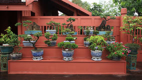 Bonsai on blue flower pots for decoration Stock Photography
