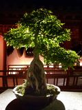 Bonsai royalty free stock images