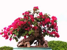Bonsai bougainvilla. Small bonsai flowered tree in pot Royalty Free Stock Images