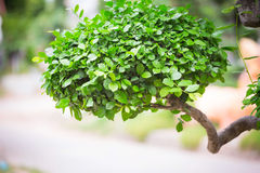 Bonsai bush. Green tree in a park. In the summer Stock Photos