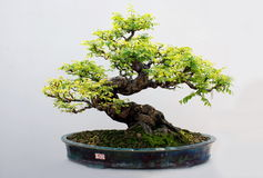 The bonsai of carambola tree. A nice looking chinese miniture garden,a bonsai of carambola tree in a pot Royalty Free Stock Images