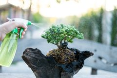 Bonsai care and tending houseplant growth. Watering small tree. Tree Treatment Concepts stock image
