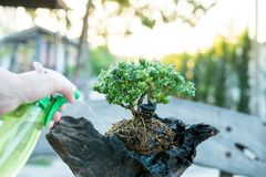 Bonsai care and tending houseplant growth. Watering small tree. Tree Treatment Concepts royalty free stock images