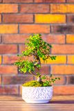 Bonsai carpinus tree in the white pot is placed on brown brick background. Small zen tree with green leaves and twisted trunk. Beautiful plant for home garden royalty free stock image