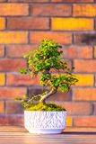 Bonsai carpinus tree in the white pot is placed on brown brick background. Small zen tree with green leaves and twisted trunk. Beautiful plant for home garden royalty free stock photo