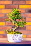 Bonsai carpinus tree in the white pot is placed on brown brick background. Small zen tree with green leaves and twisted trunk. Beautiful plant for home garden stock image