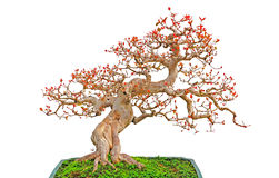 Bonsai cascade plant Stock Images