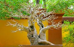 Chinese hackberry bonsai cascade plant royalty free stock photography