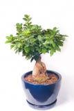 Bonsai in ceramic pot Stock Photography